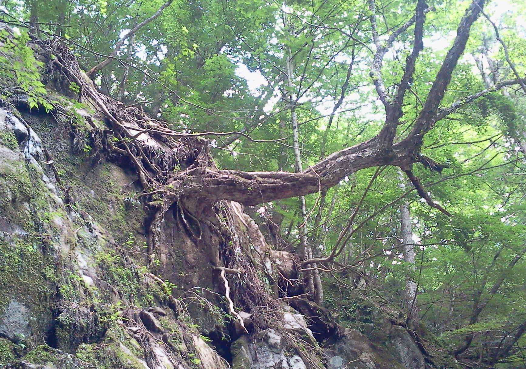 西沢渓谷 樹木